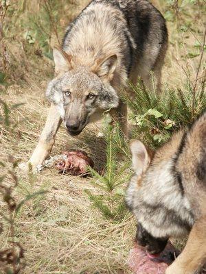 vlci s kořistí