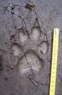 stopa vlka v blátě