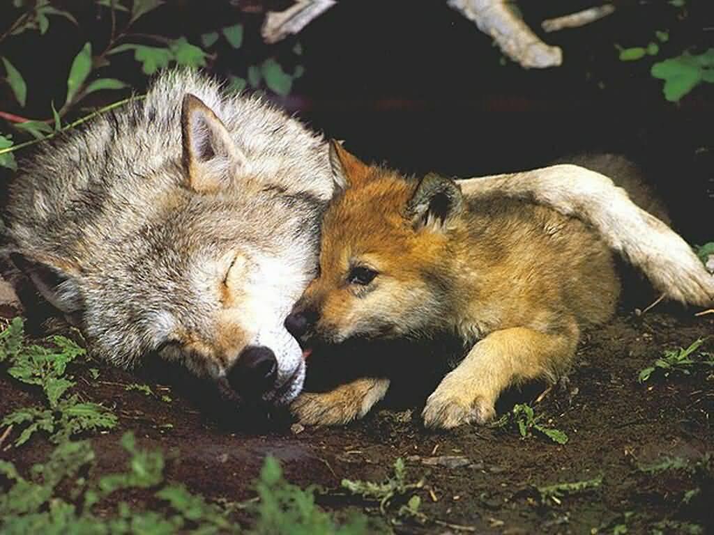 vlk s vlčetem